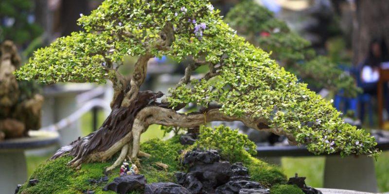 Как в домашних условиях вырастить бонсай: опыт садоводов
